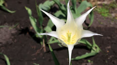 Lily-flowered tulip. Stock Footage