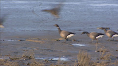 Brant goose or brent goose (Branta bernicla ) wintering at the Wadden Sea Stock Footage
