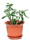 money tree in brown plastic pot - stock photo