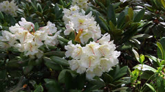 Caucasian rhododendron blooms in the woods - stock footage