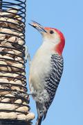 Woodpecker on a peanut feeder Stock Photos