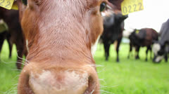 Close up of cow - stock footage