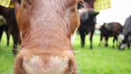 Stock Video Footage of Close up of cow