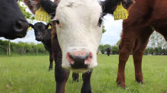 Close up of calf - stock footage