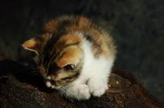 Calico Kitten Stock Photos
