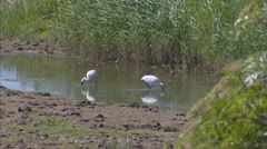 Eurasian Spoonbill or Common Spoonbill (Platalea leucorodia) forage Stock Footage