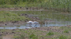 Pair of Eurasian Spoonbill or Common Spoonbill (Platalea leucorodia) Stock Footage