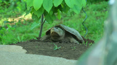 Snapping turtle laying eggs 3 Stock Footage