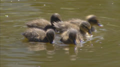 ducklings swimming (anas platyrhynchos) - stock footage