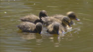 Stock Video Footage of ducklings swimming (anas platyrhynchos)