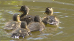 ducklings swimming to mama duck (anas platyrhynchos) - stock footage