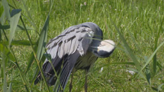 Stock Video Footage of Grey heron (Ardea cinerea) grooming plumage