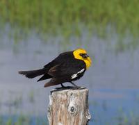 yellow headed blackbird (xanthoocephalus xanthocephalus) - stock photo