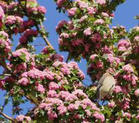 Stock Photo of cedar waxwing (bombycilla cedorum) in blossoming tree