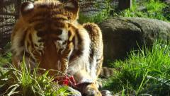 Tiger eating meat in the Sun Stock Footage