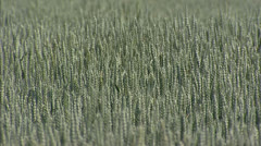 Common wheat field waving  (triticum aestivum) - full screen Stock Footage