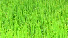Waving rice plant Stock Footage