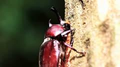 Close up of Rhinoceros beetle sucks juice Stock Footage