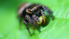 Jumping Spider - Salticidae - prey Stock Footage