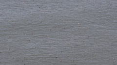 Western Grebe Floating San Francisco Water Aechmophorus Occidentalis Swan Necked Stock Footage