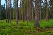 Stock Photo of background forest clearing with spruce trees