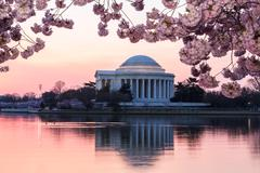 Stock Photo of cherry blossom and jefferson memorial at sunrise