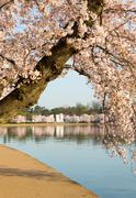 detail of japanese cherry blossom flowers - stock photo