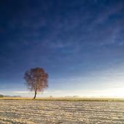 Solitary tree in golden sunrise Stock Photos