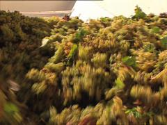 GRAPE HARVEST load of grapes to be squeezed out Stock Footage