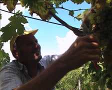 GRAPE HARVEST old man grape picker Stock Footage