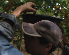 GRAPE HARVEST worker carrying bucket from behind Stock Footage