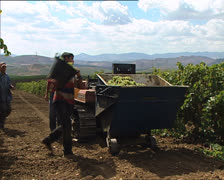 GRAPE HARVEST grape pickers and tractor Stock Footage