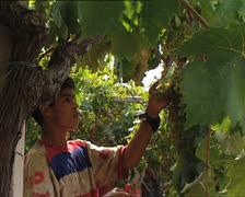 GRAPE HARVEST young man grape picker Stock Footage