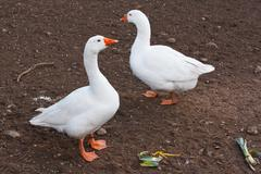 domestic farm animals white geese - stock photo