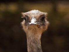 Ostrich classic portrait Stock Photos