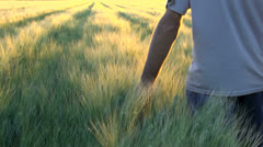 Wheat Field Walk Golden Sun Stock Footage
