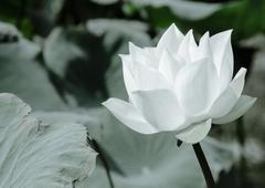 White Lotus Series 1 2 - stock photo