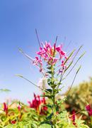 Cleome spinosa linn or  spider flower Stock Photos