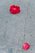 red rose fade one foliage on cement floor - stock photo