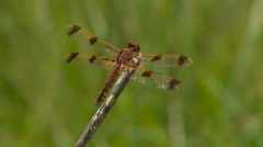 Painted Skimmer (Libellula semifasciata) Dragonfly - Female Perching 2 Stock Footage