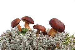 king boletus edulis - stock photo