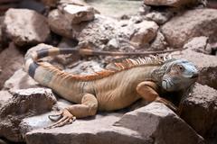 iguana sitting in a stone - stock photo