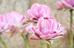 elaborate pink lotus for worship buddha - stock photo
