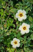 the turnera subulata, or white alder in the garden - stock photo