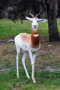 White antelope Stock Photos