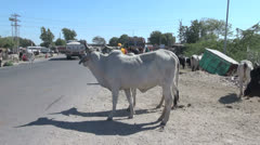 India Rajasthan white bull with hump at roadside 2 Stock Footage