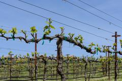 grapevine in spring with blue sky - stock photo