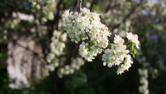 cherry tree blossom - stock footage