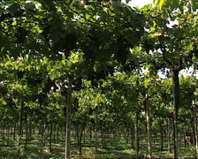 GRAPE HARVEST vineyard pan Stock Footage