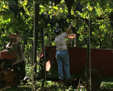 GRAPE HARVEST grape pickers working 2 Stock Footage